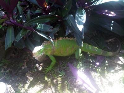 Iguana in Smithys Garden