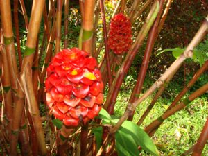 Pineapple Ginger First blooms May 2011, planted almost 6 years ago!