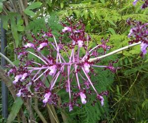 Schomburgkia in full bloom