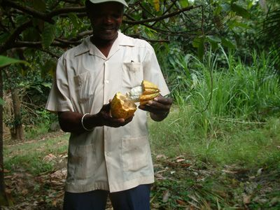 Guide showing cocoa pod
