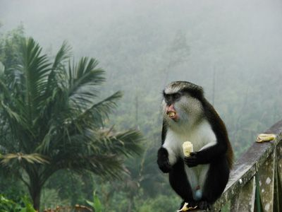Mona monkey in misty rainforest