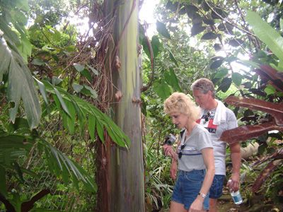 Rainbow Eucalyptus, St Rose Nursery