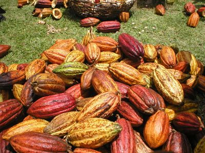 Organic cocoa pods at Belmont Estate